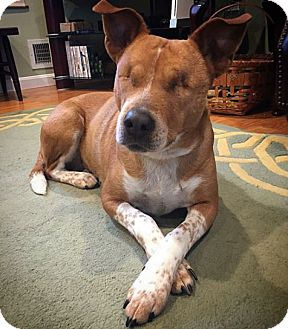 Australian Cattle Dog/Basenji Mix Dog for adoption in Brookeville, Maryland - Dini