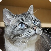 Siamese Cat for adoption in Libby, Montana - Misty