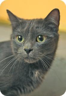 Russian Blue Cat for adoption in Medford, Massachusetts - Punky