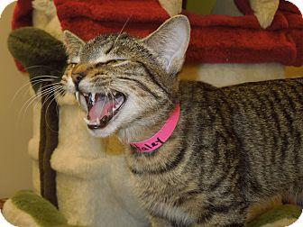 Domestic Shorthair Cat for adoption in Medina, Ohio - Haley