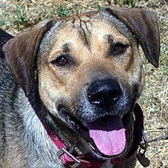 Vizsla/Beagle Mix Dog for adoption in Phoenix, Arizona - Sarah
