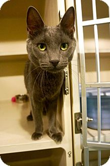 American Shorthair Cat for adoption in New York, New York - Bubbles