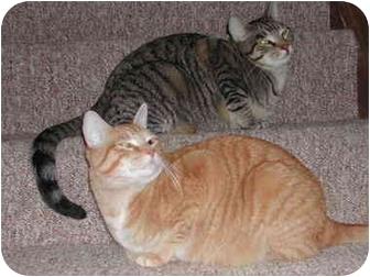 Domestic Shorthair Cat for adoption in cincinnati, Ohio - Jake and Colby