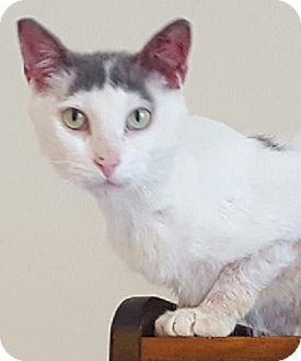 Domestic Shorthair Cat for adoption in Hillside, Illinois - Remy- $65 - DEAF - LOVER!!