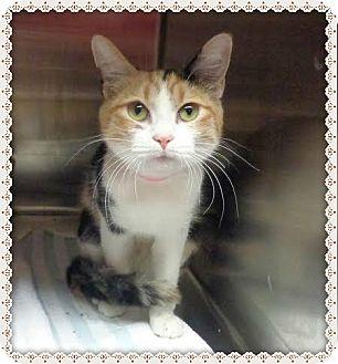 Domestic Shorthair Cat for adoption in Marietta, Georgia - LADY