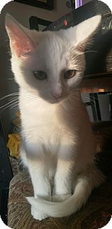 Domestic Shorthair Kitten for adoption in Baltimore, Maryland - Coral