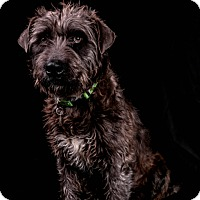 Adopt A Pet :: Riker - Tulsa, OK