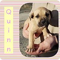 Adopt A Pet :: Quinn - Newcastle, OK