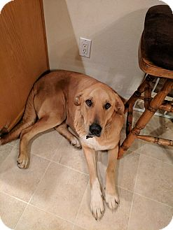 Labrador Retriever Mix Dog for adoption in DeForest, Wisconsin - June