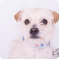 Adopt A Pet :: Ronnie Ruffle - Colorado Springs, CO