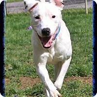 Adopt A Pet :: Inigo - Shippenville, PA