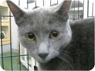 Russian Blue Cat for adoption in Chandler, Arizona - Blu