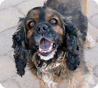 Cocker Spaniel Dog for adoption in Scottsdale, Arizona - Leroy Brown