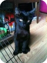 Domestic Mediumhair Kitten for adoption in Sterling, Massachusetts - Jagger