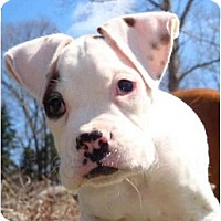 Adopt A Pet :: BULLWINKLE - Sunderland, MA