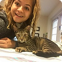 Adopt A Pet :: Tiger - Columbia, MD