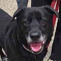 Labrador Retriever Mix Dog for adoption in San Diego, California - Donner