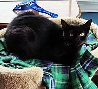 Domestic Shorthair Cat for adoption in Lombard, Illinois - Trinket
