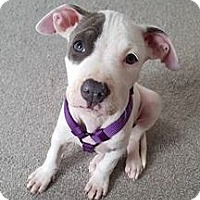 Adopt A Pet :: Bordentown, NJ - ARYA - New Jersey, NJ