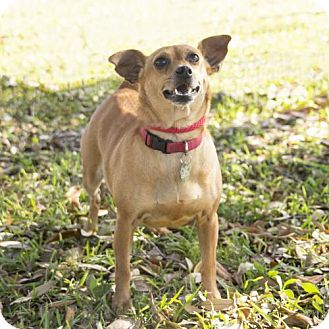 Chihuahua Mix Dog for adoption in Vancouver, British Columbia - Miss Kitty