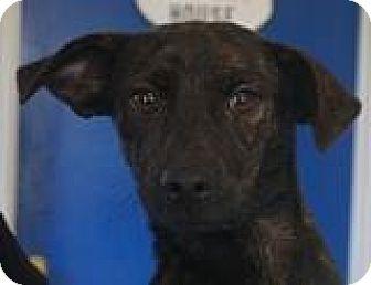 Chihuahua/Beagle Mix Dog for adoption in Media, Pennsylvania - TRUDIE