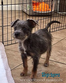 Chihuahua/Terrier (Unknown Type, Small) Mix Puppy for adoption in Rosamond, California - Snickers