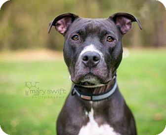 Pit Bull Terrier Mix Dog for adoption in Reisterstown, Maryland - Bella