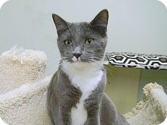 Domestic Shorthair Kitten for adoption in Creston, British Columbia - Grayson