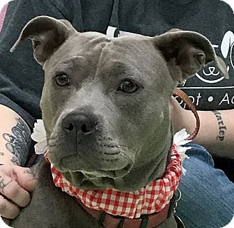 American Staffordshire Terrier Mix Dog for adoption in Evansville, Indiana - Rain