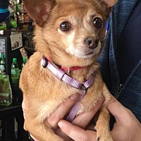 Chihuahua Dog for adoption in Centreville, Virginia - Cricket
