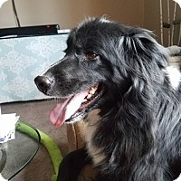 Newfoundland/Border Collie Mix Dog for adoption in Albertville, Minnesota - Henry