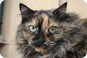 Domestic Longhair Cat for adoption in Colorado Springs, Colorado - Genova