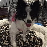 Adopt A Pet :: Piper - Joplin, MO