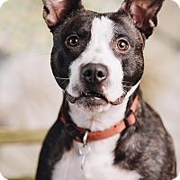 Adopt A Pet :: Guppy - Portland, OR