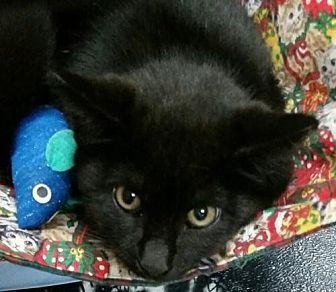 Domestic Shorthair Kitten for adoption in Boynton Beach, Florida - Dale