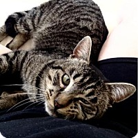 Domestic Shorthair Cat for adoption in Bellevue, Washington - Dwight