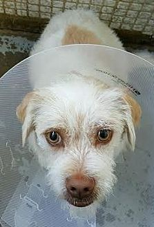 Terrier (Unknown Type, Small) Mix Dog for adoption in Orange, California - Marvin