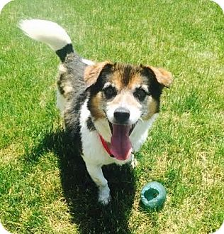 Australian Cattle Dog/Corgi Mix Dog for adoption in Union Grove, Wisconsin - Branson