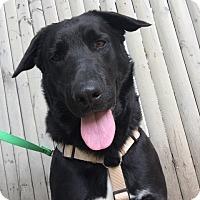 Adopt A Pet :: Max - Swanzey, NH