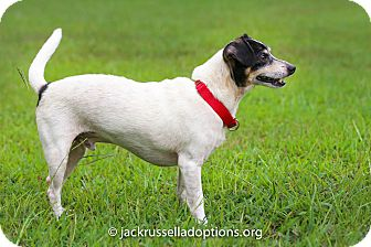 Jack Russell Terrier Mix Dog for adoption in Conyers, Georgia - Harley