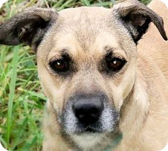 Pug/Beagle Mix Dog for adoption in Wakefield, Rhode Island - MR. MAGOO(WHAT A STORY-READ!!!