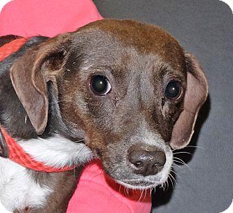 Chihuahua Mix Dog for adoption in Spokane, Washington - Rosie