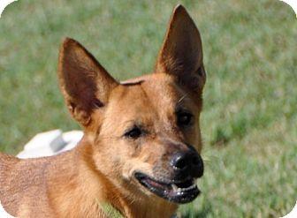 German Shepherd Dog Mix Dog for adoption in Dripping Springs, Texas - Sunshine
