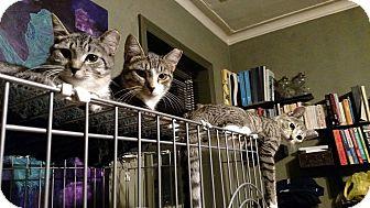Domestic Shorthair Kitten for adoption in Brooklyn, New York - Geronimo
