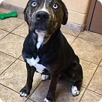 Adopt A Pet :: Duncan 109990 - Joplin, MO