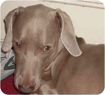 Weimaraner Dog for adoption in Attica, New York - Obie
