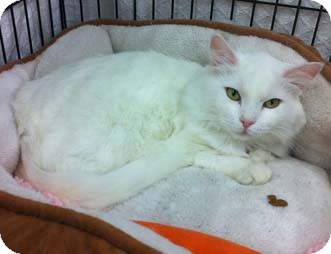 Domestic Shorthair Cat for adoption in Merrifield, Virginia - Abby