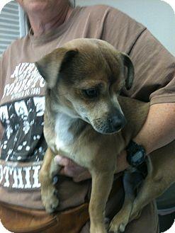 Dachshund/Chihuahua Mix Dog for adoption in Phoenix, Arizona - Wolfie