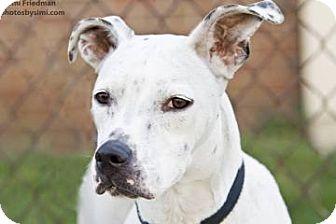 American Pit Bull Terrier Mix Dog for adoption in Brooklyn, New York - Erica