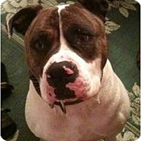Adopt A Pet :: Soldier - Courtesy Post - Cincinnati, OH
